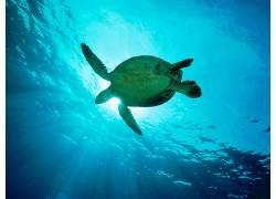 动物,龟,水下136515