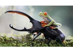 动物,青蛙,昆虫,性质,红眼睛的树蛙,两栖动物,甲虫201218