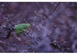 动物,青蛙,树枝,两栖动物366146
