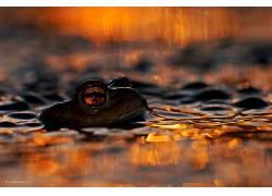 动物,青蛙,湖,眼睛,宏,两栖动物285099