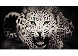 动物,绿眼睛,豹(动物)290905