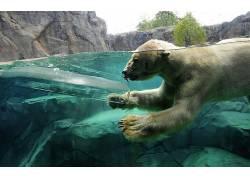 北极熊,动物,冰,拆分视图,游泳的213003