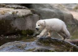 北极熊,动物,小动物,岩93987