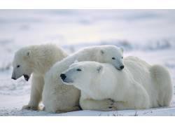北极熊,动物,小动物,雪223451