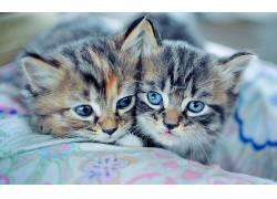 动物,猫,蓝眼睛,小动物192087