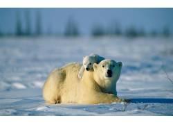 北极熊,动物,小动物,雪3948