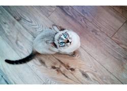 动物,猫,蓝眼睛,抬头看,木表面,Siamois密封虎斑22732