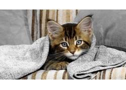 动物,猫,蓝眼睛195760