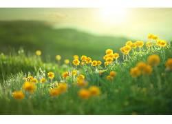 草,绿色,壁纸,植物,花卉,黄色的花朵664709图片