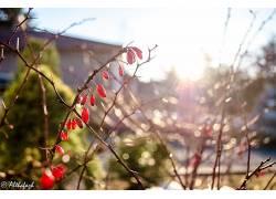 宏,植物,壁纸,水果,景深,背景虚化,阳光184558图片