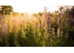花卉,壁纸,阳光,薰衣草,植物69821图片