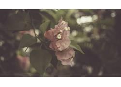 花卉,树叶,紫红色,景深,壁纸,植物,九重葛403493图片