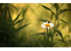 宏,花卉,黄春菊,植物,雏菊,景深,壁纸,向日葵,洋甘菊135783图片