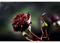 宏,植物,玫瑰,红色的花朵,花卉585007图片