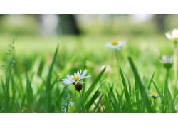 花卉,草,植物,洋甘菊,雏菊137052图片