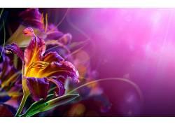 紫色背景(背景虚化)的百合花高清图片