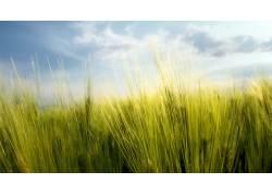 黑麦,宏,植物,天空13807图片