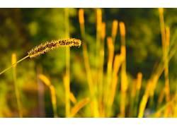 壁纸,阳光,小穗,草,景深,宏,植物149223图片