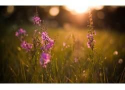 花卉,紫色的花朵,壁纸,背景虚化,草,植物26385图片