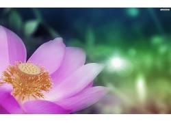 花卉,紫色的花朵,宏,植物,树叶116001图片