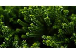 宏,景深,植物,壁纸,绿色,肉质9052图片