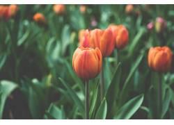花卉,景深,植物,郁金香471798图片