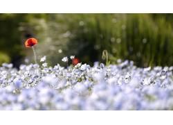 花卉,罂粟,景深,壁纸,背景虚化,蓝色的花朵137464