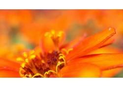 花卉,橙色的花朵,宏,植物,景深116074图片