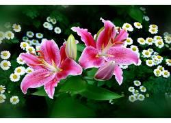 花卉,壁纸,白花,粉色的花朵,百合,数字艺术,植物5248图片