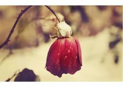 宏,花卉,玫瑰,植物447882图片