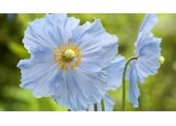 花卉,罂粟207869