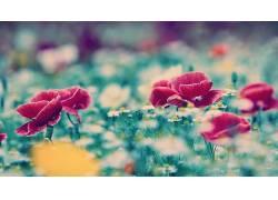 花卉,罂粟207870