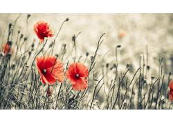 花卉,罂粟207871