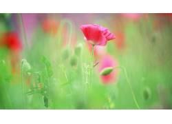 花卉,罂粟207893