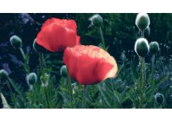 花卉,罂粟207897