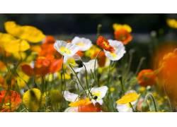 花卉,罂粟207898