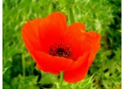 花卉,罂粟215002