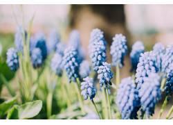 壁纸,植物,蓝色的花朵,葡萄455372