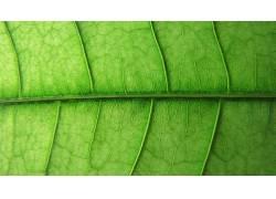 壁纸,树叶,植物,宏13853图片