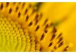 壁纸,植物,宏,景深,花卉,向日葵,黄色,黄色的花朵,水滴,花粉24568图片
