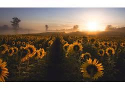 壁纸,向日葵,薄雾,领域,花卉305169