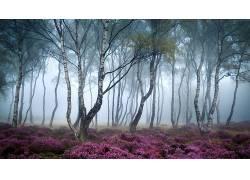 壁纸,森林,薄雾,花卉,粉,树木,桦木425421