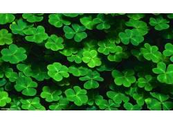 壁纸,绿色,树叶,植物,酢浆草,三叶草,模式176297图片