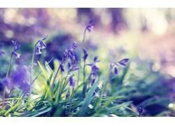 壁纸,背景虚化,花卉,紫色的花朵,草42209