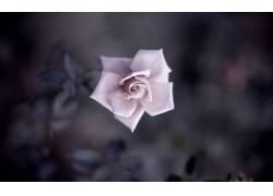 壁纸,宏,特写,详细,植物,景深,花卉,树叶,玫瑰,花瓣,花瓣247243图片