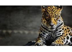美洲虎,数字艺术,动物,大猫2650图片