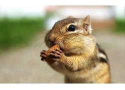 花栗鼠,动物288784
