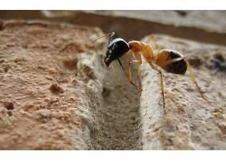蚂蚁,宏,昆虫,岩,弓背,动物3784