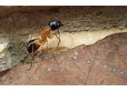 蚂蚁,宏,昆虫,岩,树叶,弓背,动物3783