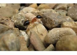 蚂蚁,宏,昆虫,岩,石头,动物3781